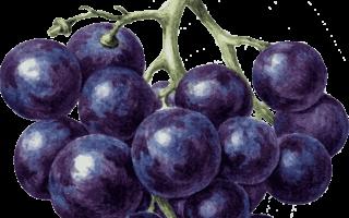 Домашнее вино из акации – рецепт и технология приготовления ароматного алкоголя