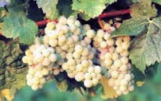 Итальянский виноградный эль (italian grape ale): описание и технология производства напитка