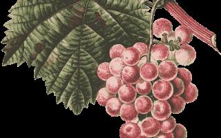 Сухое виноградное вино в домашних условиях — рецепт без сахара, 5 простых рецептов