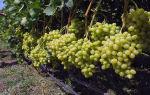 Вино Совиньон Блан (Sauvignon Blanc) – описание и особенности напитка, причины успеха