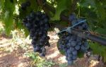 Вино Бастардо: описание и особенности напитка, культура пития и марки