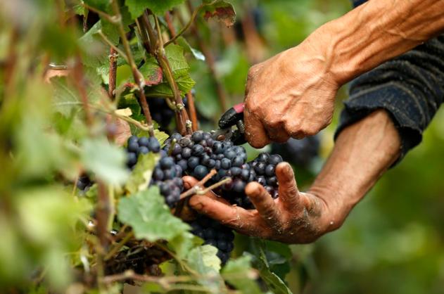 Виноградная настойка из жмыха изабелла
