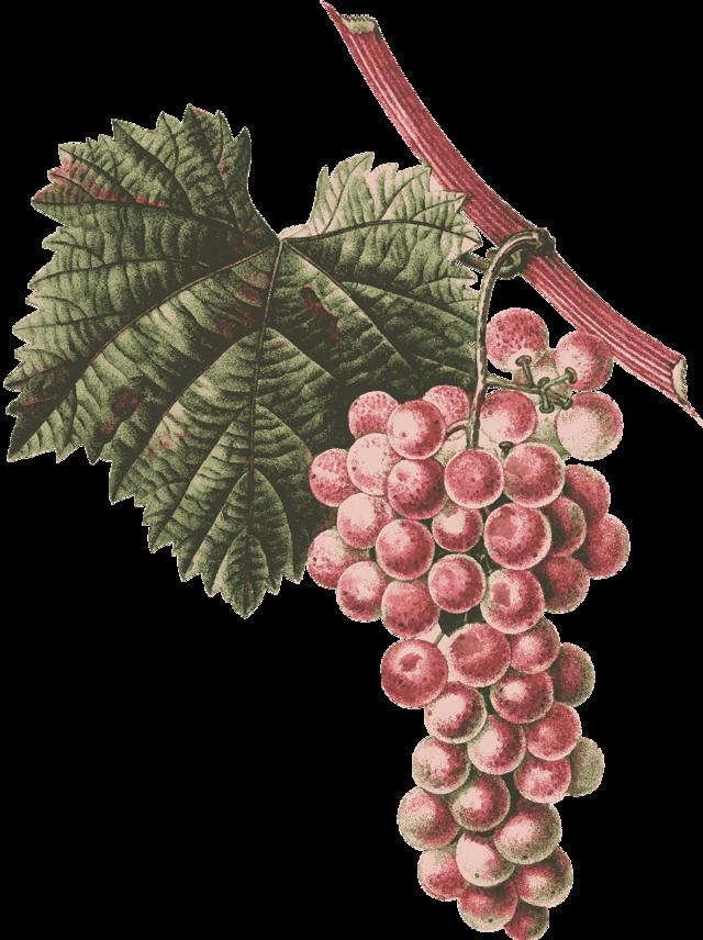 Вино из винограда в домашних условиях, ? простой рецепт без дрожжей с добавлением воды и сахара. Домашнее вино из белого винограда и Изабеллы