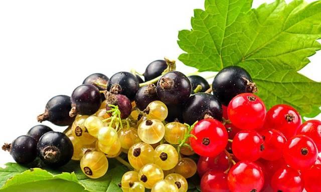 Брага из смородины (красной и черной) и получение самогона