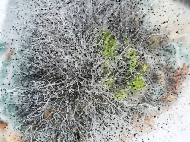 Ягоды настойки забродили, почернели или покрылись плесенью.