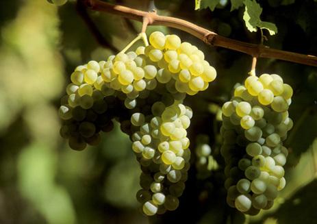Вино Айрен: особенности, культура пития, известные марки