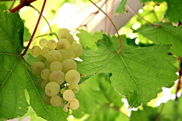 Вино Совиньон Блан (sauvignon blanc) – описание и особенности