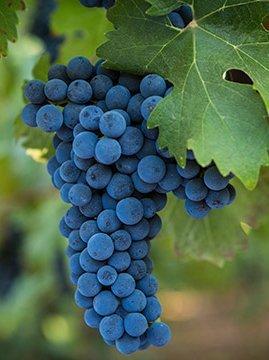 Особенности вин Каберне Совиньон (cabernet sauvignon)